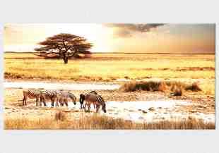Imagini cu zebre in safari